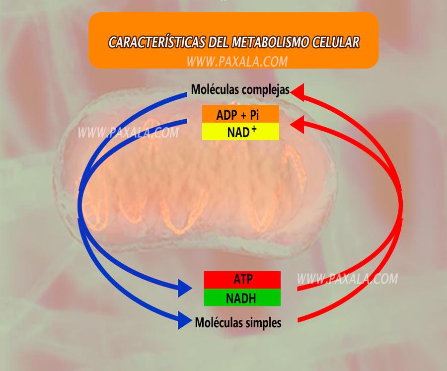caracteristicas del metabolismo celular