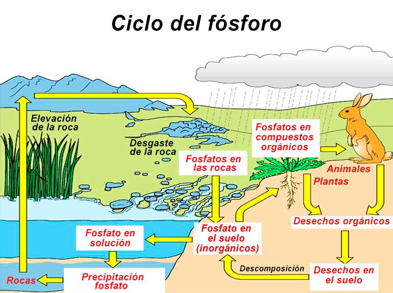 Resumen del Ciclo del Fósforo: etapas e importancia