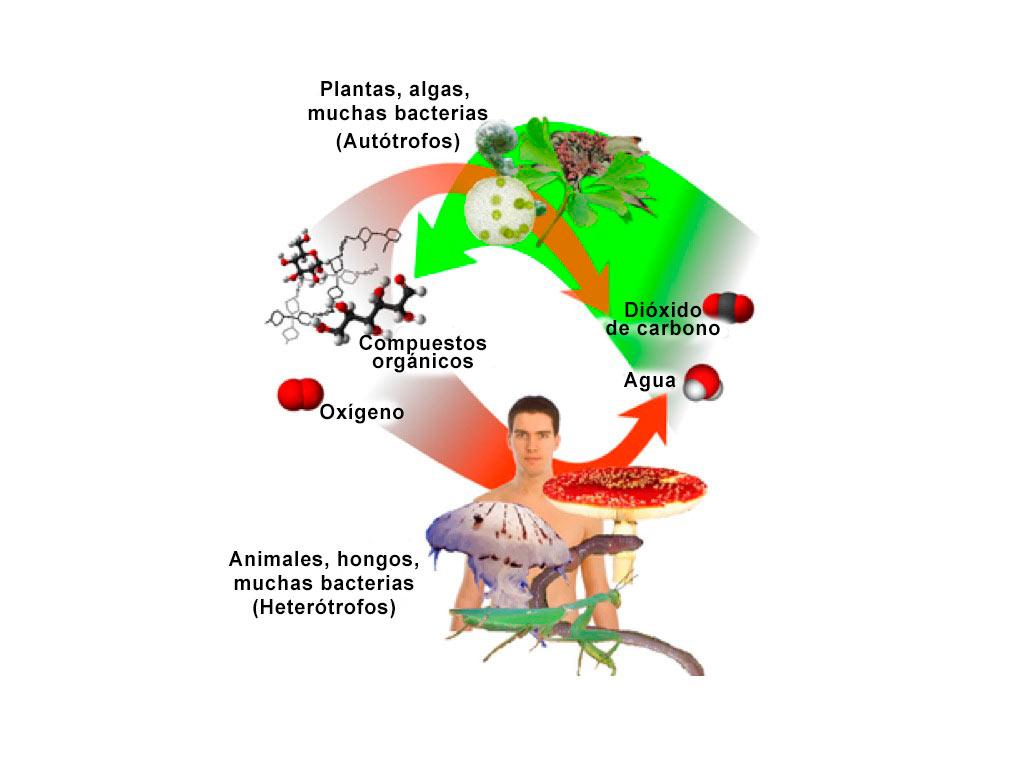 diferencias entre autótrofos y heterótrofos