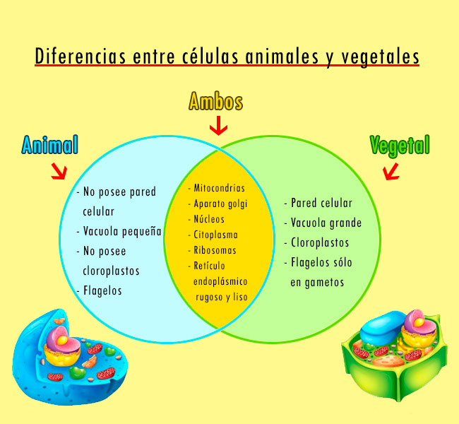 diferencias entre celula vegetal y animal