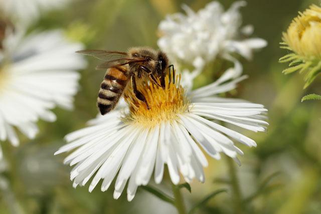 ejemplos mutualismo - abeja y flor