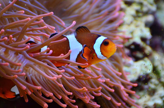 ejemplos mutualismo - anémona y pez payaso