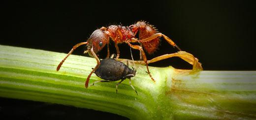 ejemplos mutualismo - hormiga pulgón