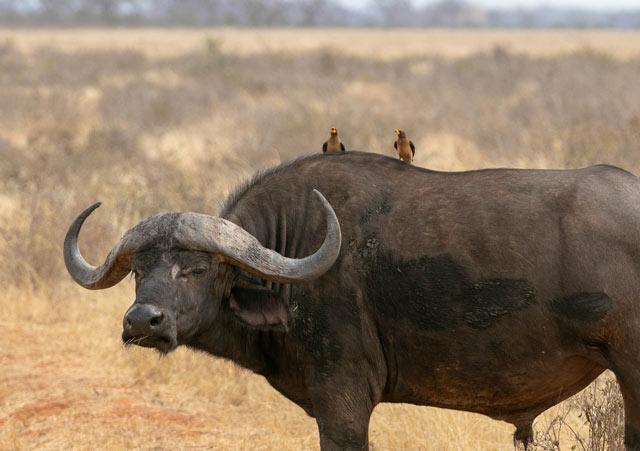 ejemplos mutualismo - pájaro y búfalo