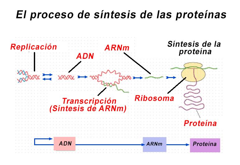 El proceso de síntesis de las proteínas