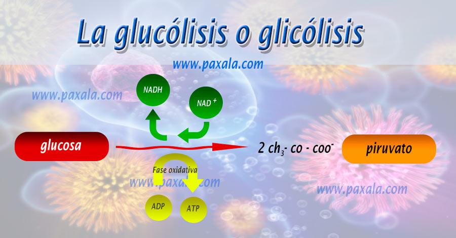la glucólisis o glicólisis