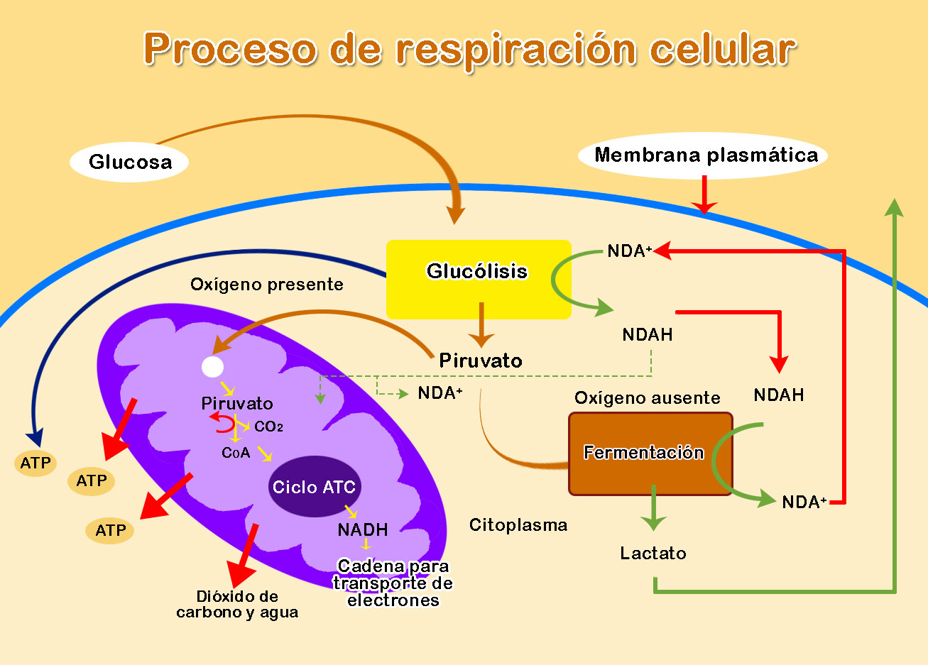 Proceso De Respiración Celular