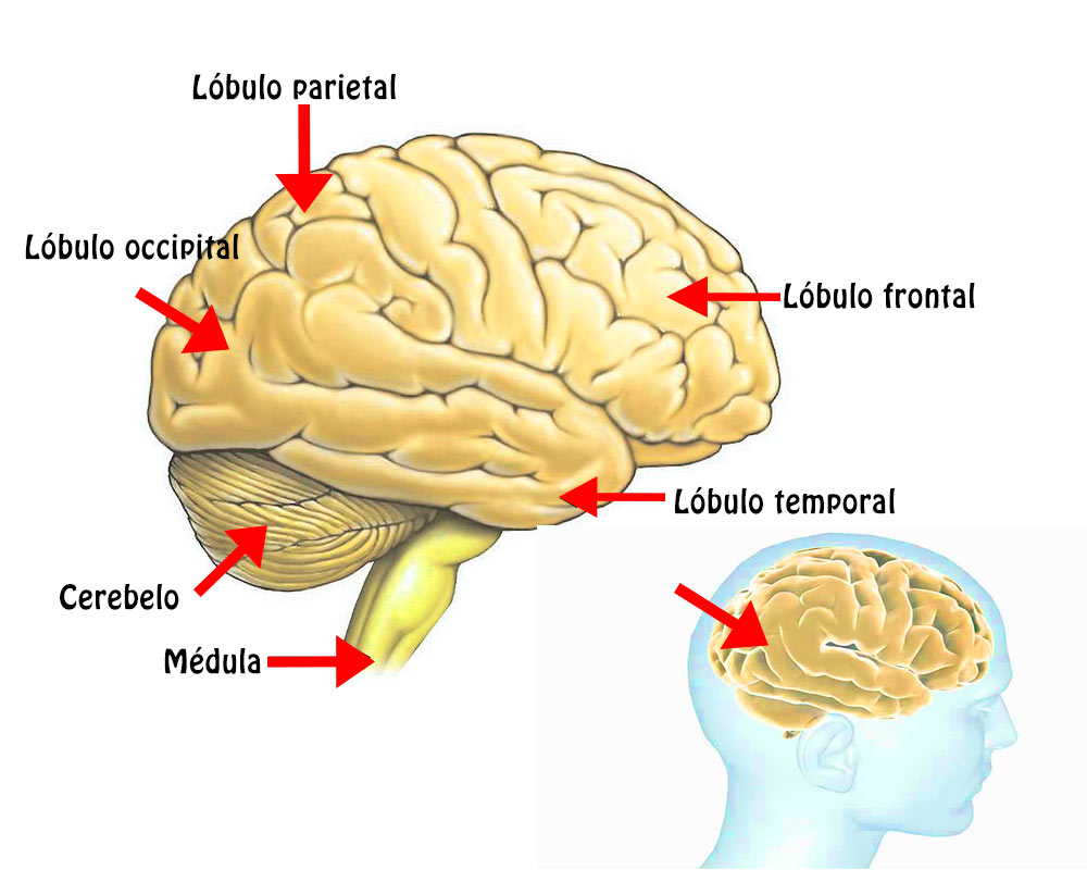 El Cerebro: Funciones, Ubicación, Partes, Funcionamiento