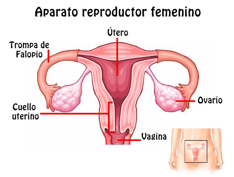 Magnífico Partes Anatomía Femenina Elaboración - Anatomía de Las ...