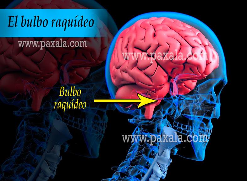 El Bulbo Raquídeo Funciones Ubicación Partes Funcionamiento Características Paxala Com