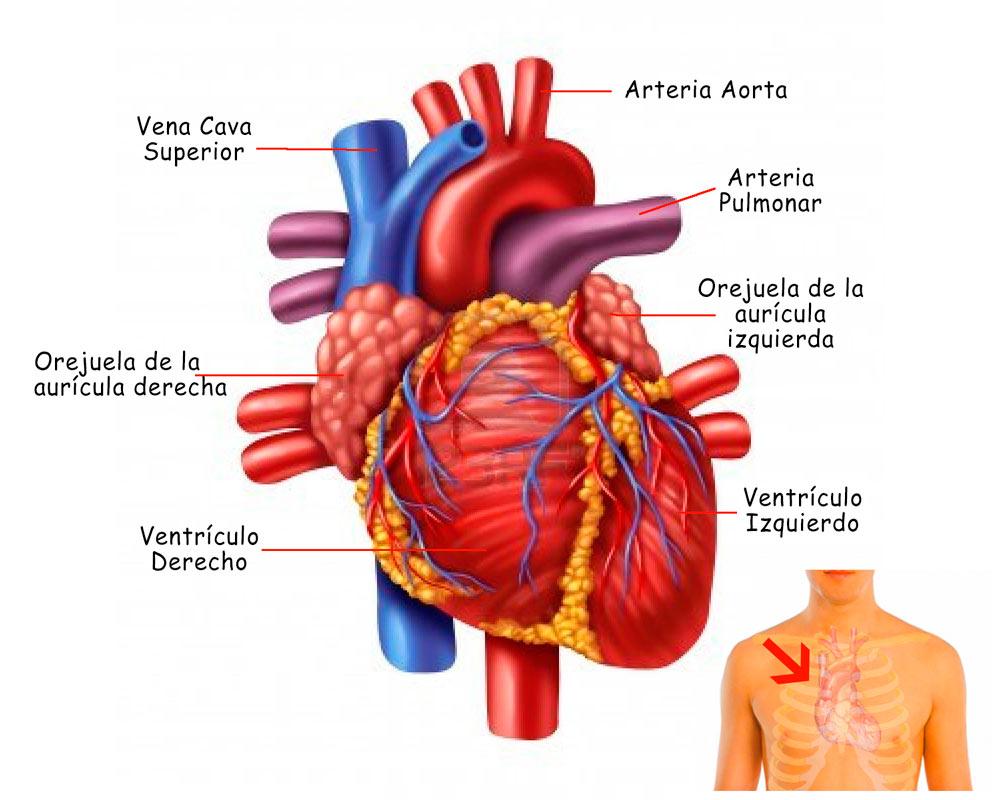 El Corazón: funciones, ubicación, partes, funcionamiento ...