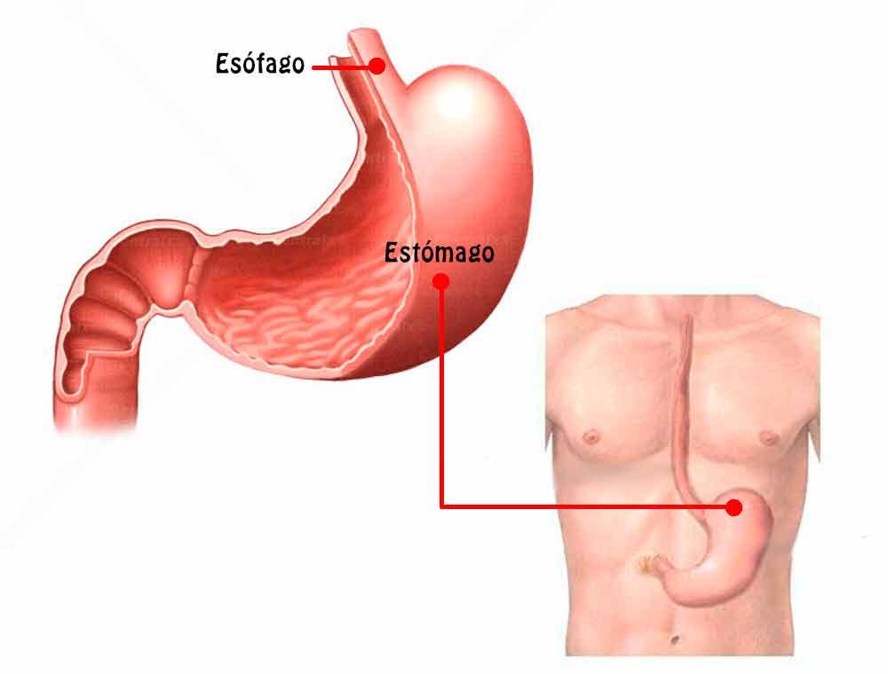 El Estómago: funciones, ubicación, partes, funcionamiento ...