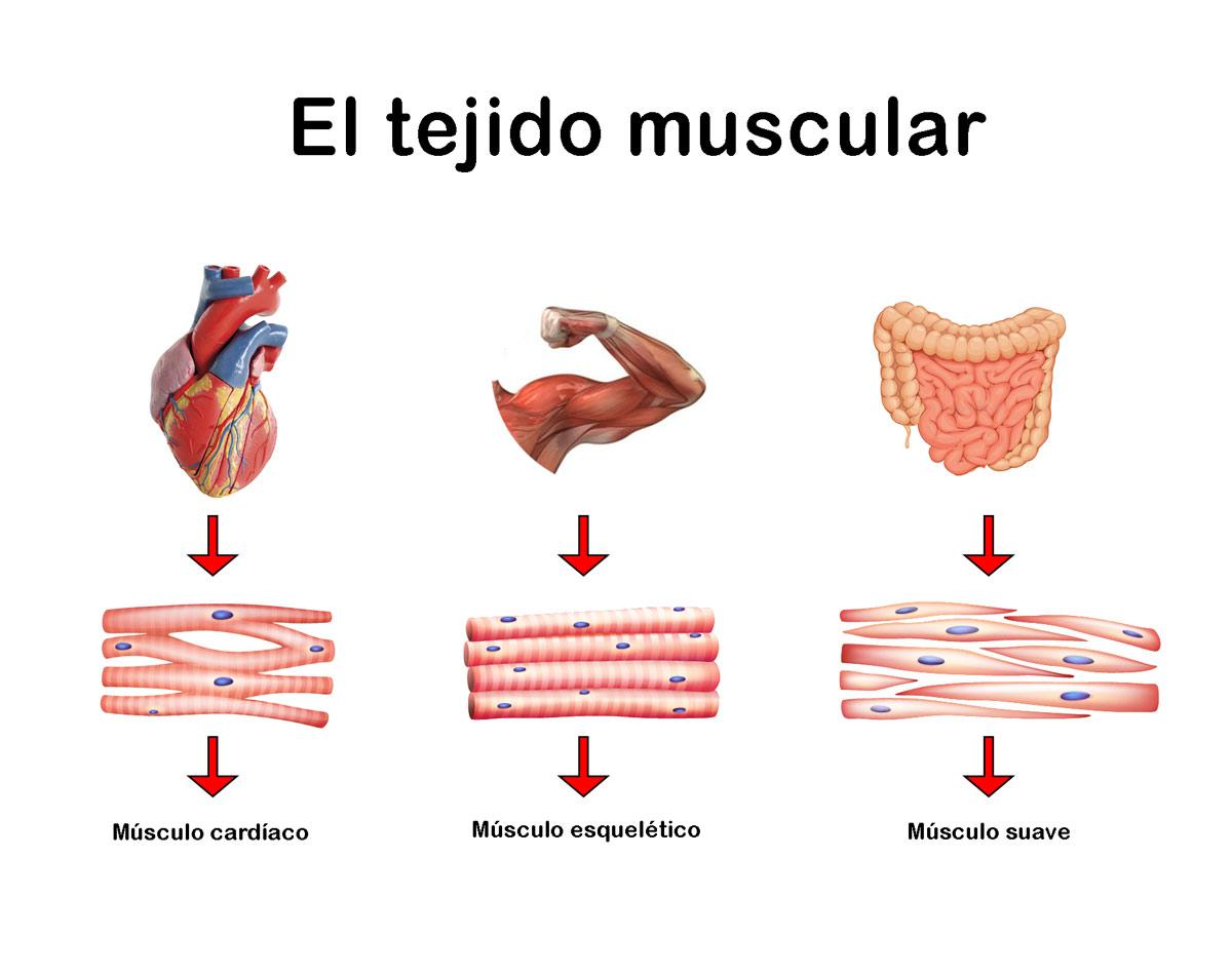 Resumen del Tejido Muscular: Características, clasificación, función