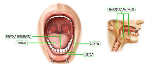 función de la boca en el sistema digestivo