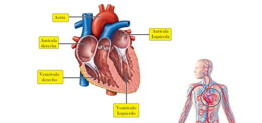 función del corazón dentro del sistema circulatorio