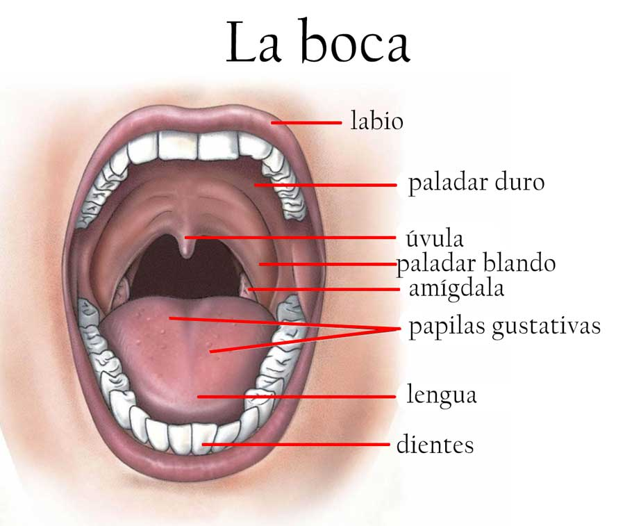 Resultado de imagen de partes de la boca