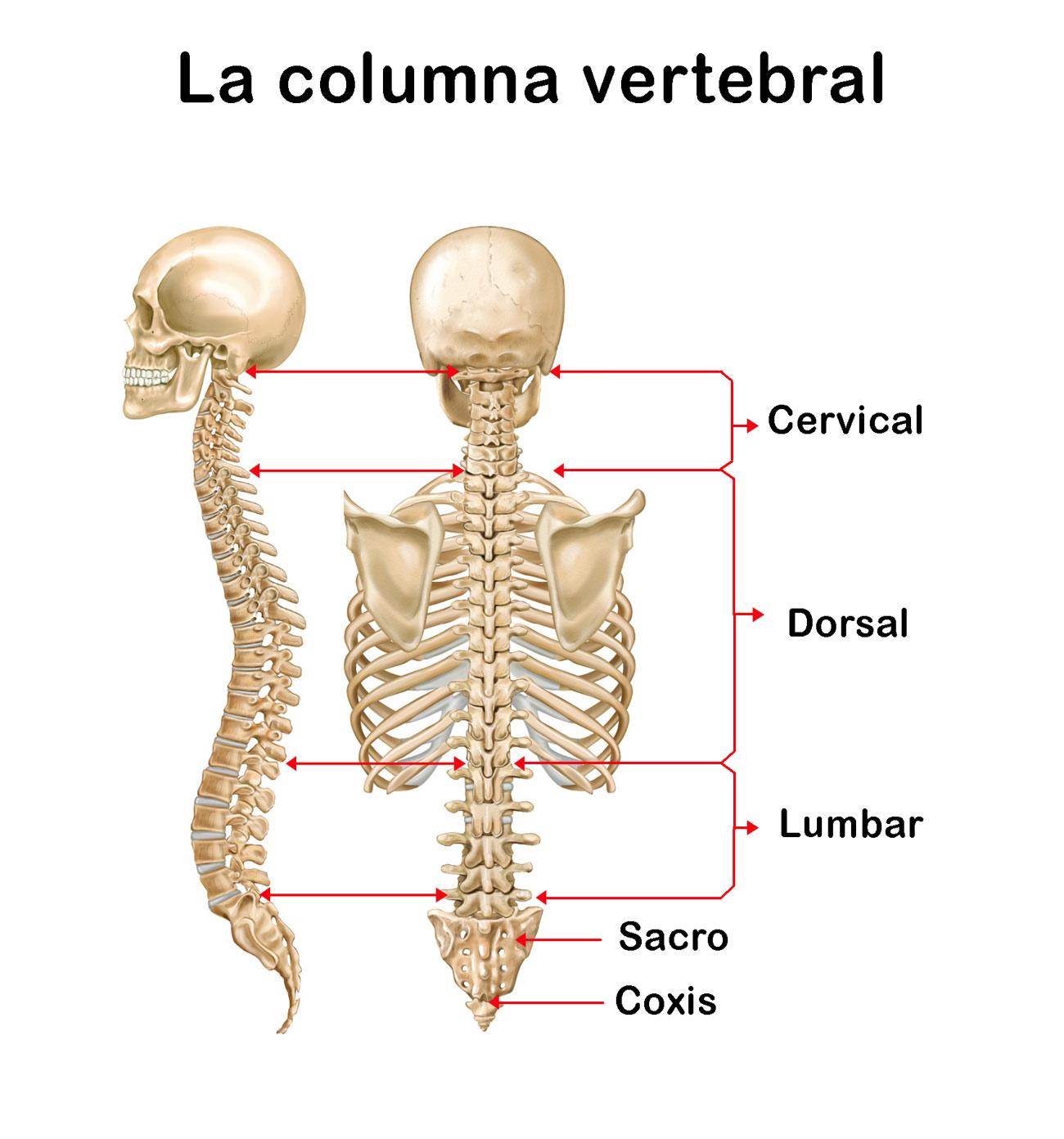 La Columna Vertebral: funciones, ubicación, partes, funcionamiento ...