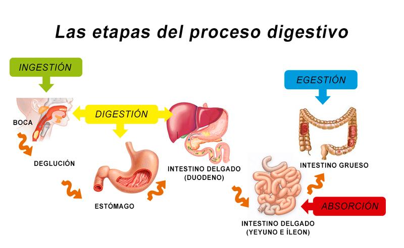 las-etapas-del-proceso-digestivo.jpg