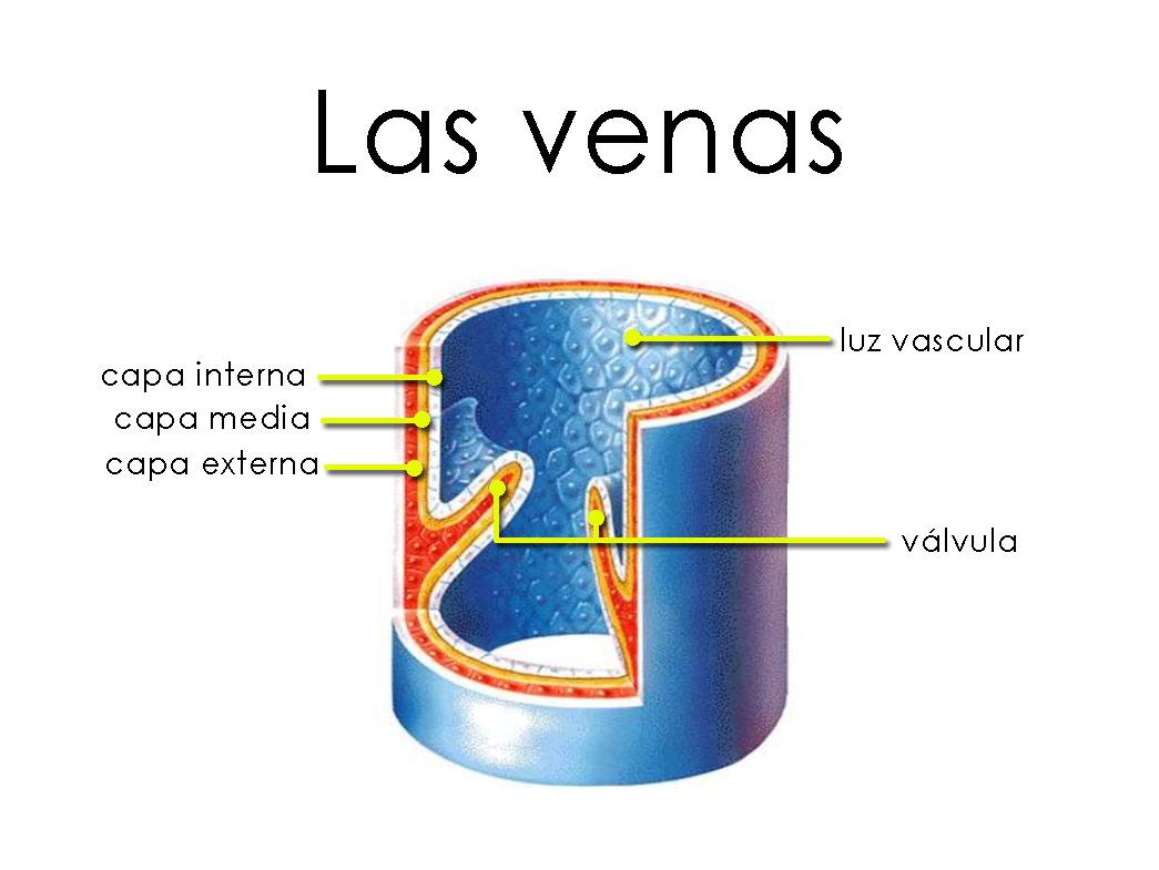 Las Venas: funciones, ubicación, partes, capas, funcionamiento ...