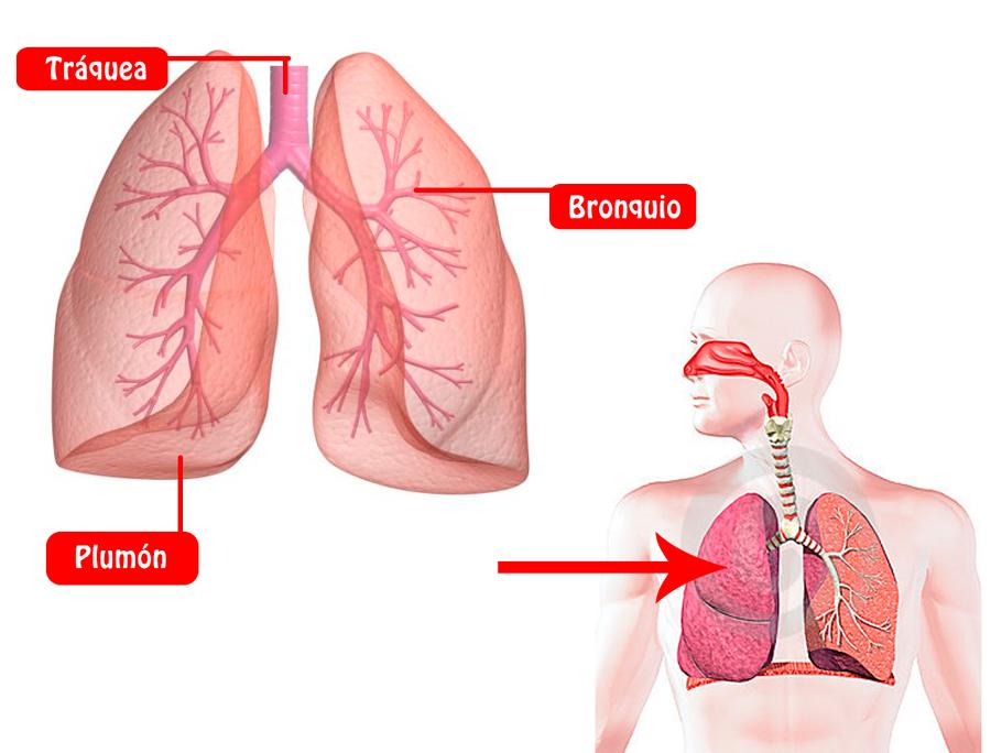 Los Pulmones: funciones, ubicación, partes, funcionamiento ...