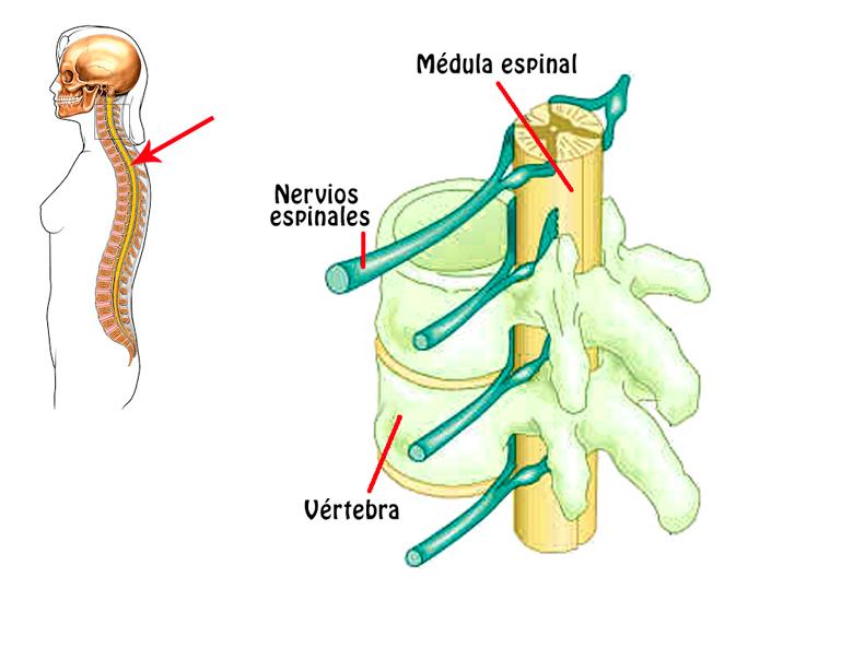 Médula espinal - Anatomía de Sistema Nervioso