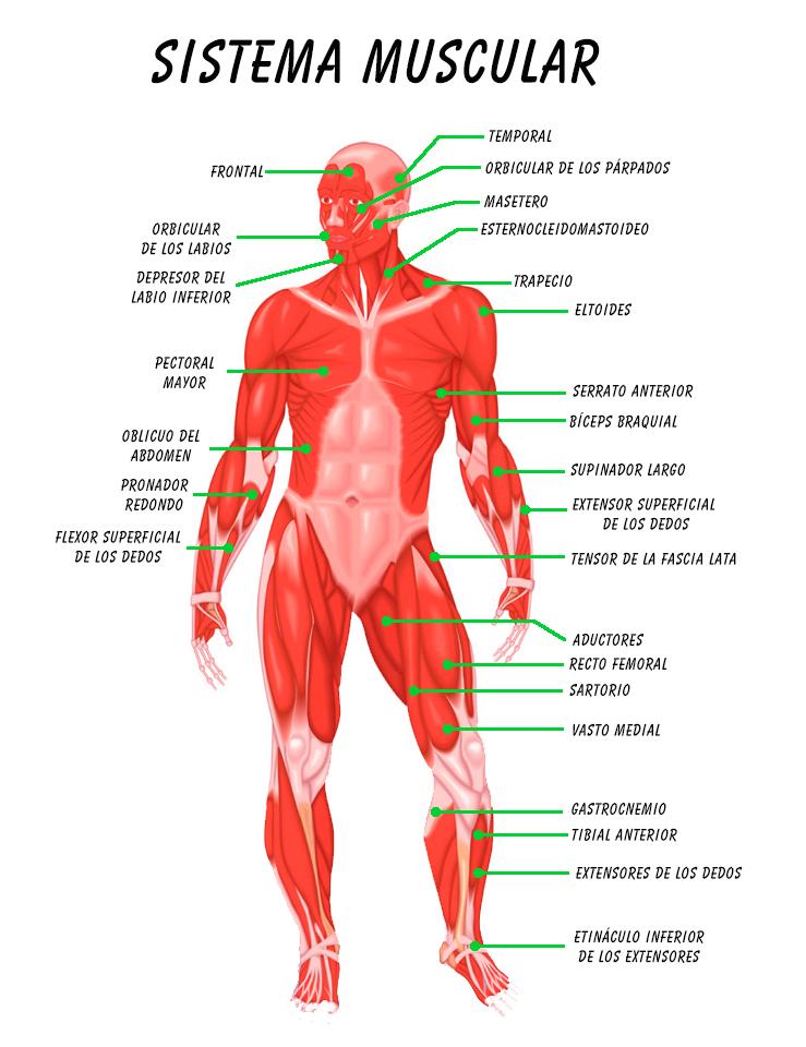 Resumen del Sistema Muscular: órganos, características, función ...