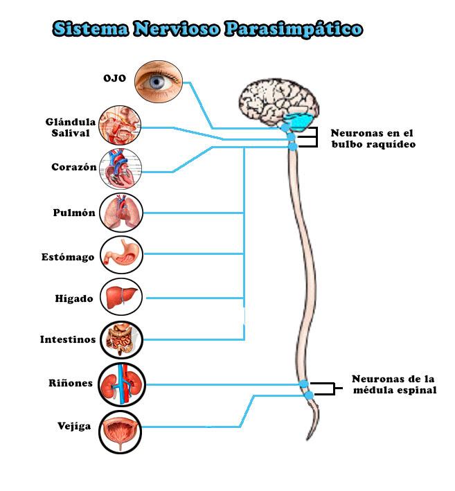 Sistema Nervioso Parasimpático: funciones, definición
