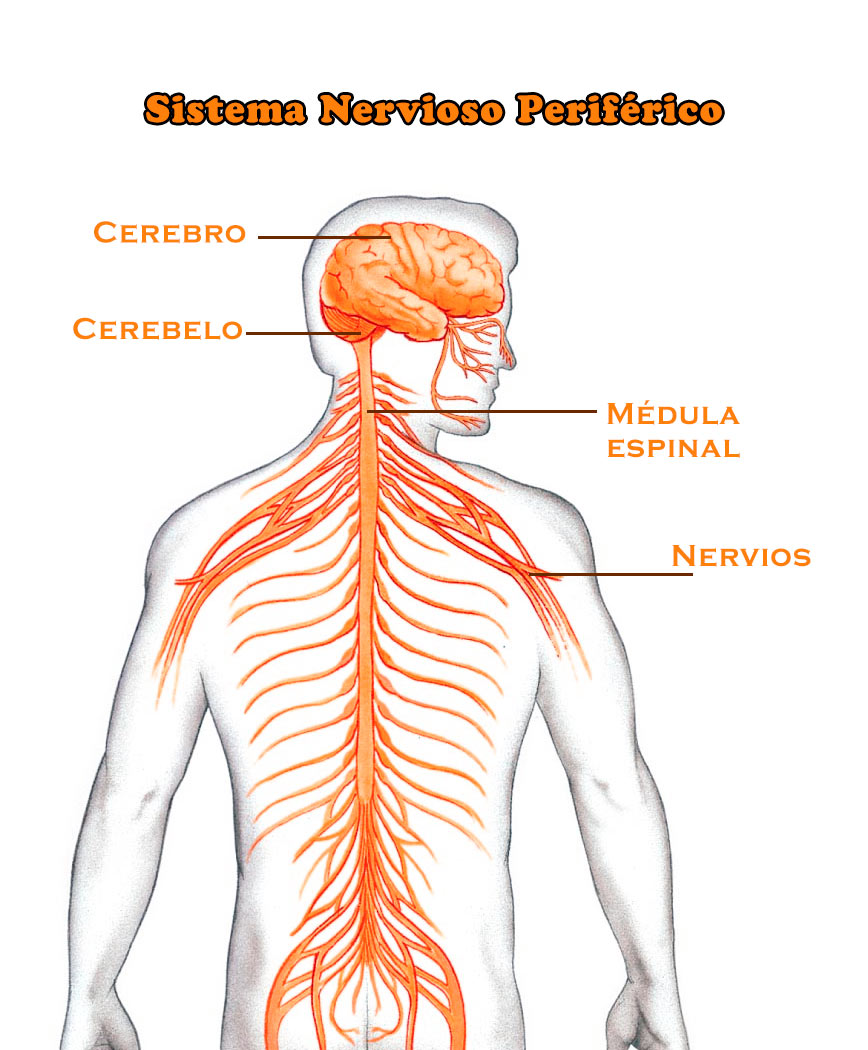 El Sistema Nervioso Periférico: función, partes, estructura, nervios