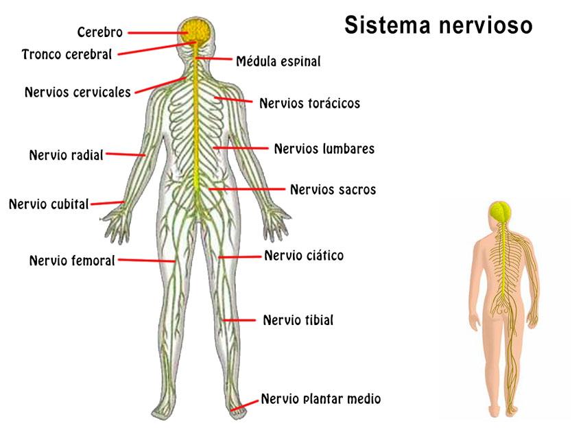 Resumen del Sistema Nervioso: órganos, características, función ...