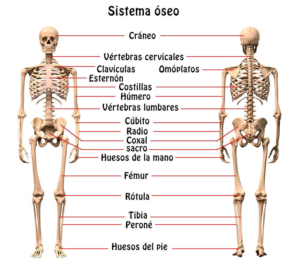 Resumen del Sistema Óseo: órganos, características, función ...