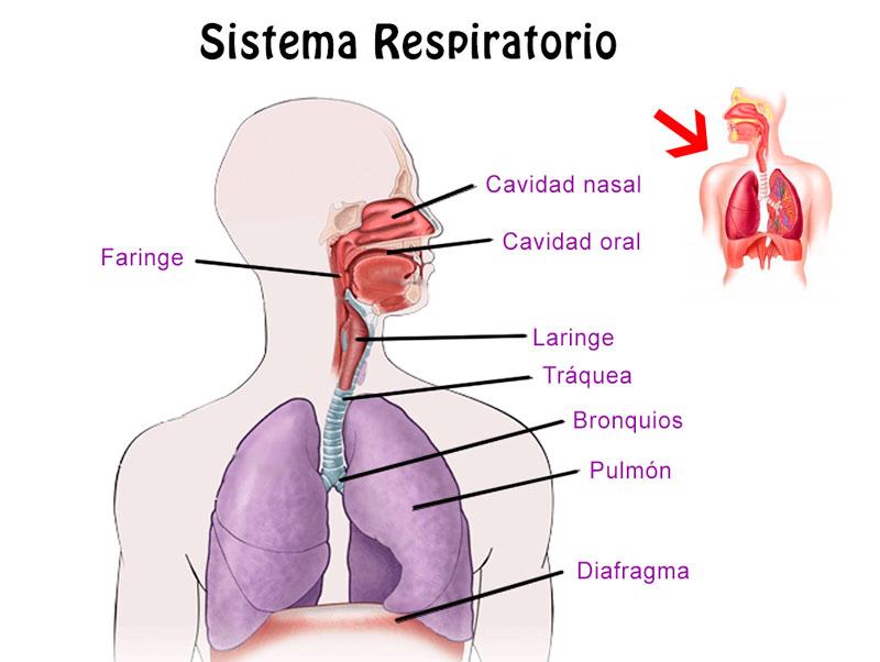 Resumen del Sistema Respiratorio: órganos, características, función ...