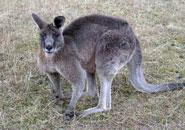 Ejemplos de animales marsupiales
