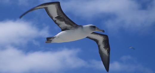 albatro de laysan
