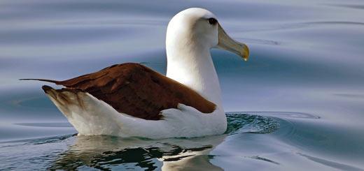 albatro ojeroso