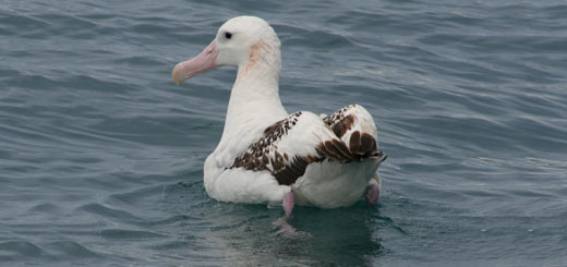 albatro viajero