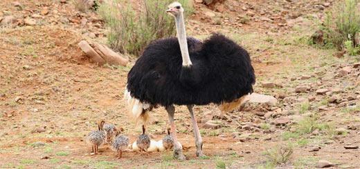 avestruz con sus crías