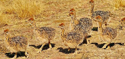 crías de avestruz