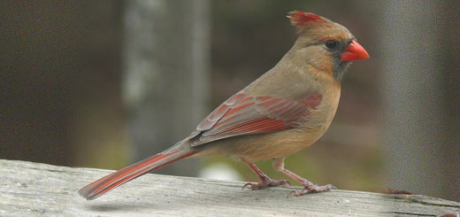 ave cardenal