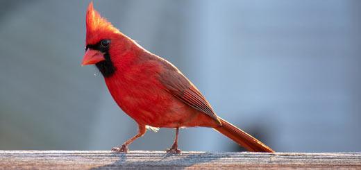 cardenal ave