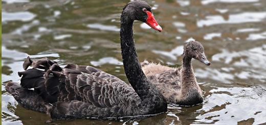 cisne negro con cría