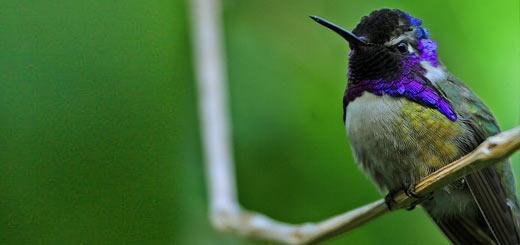 colibrí de costa