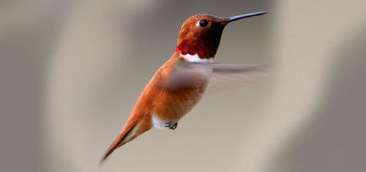 colibrí rufo