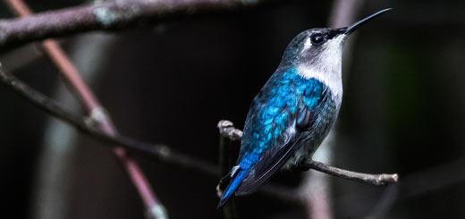 colibrí zunzuncito