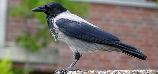 Cuervo encapuchado - Corvus cornix