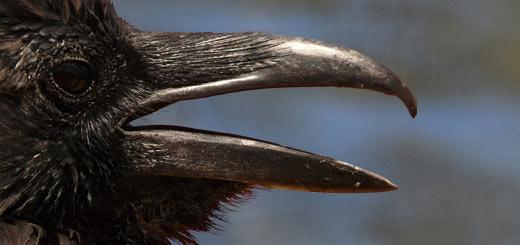 cuervo pico