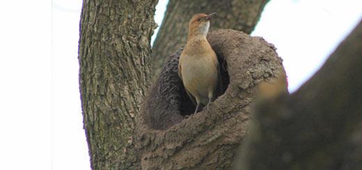 nido de hornero
