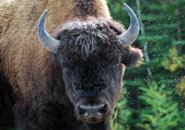 El Bisonte Americano