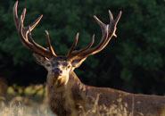 El Ciervo Común o Venado