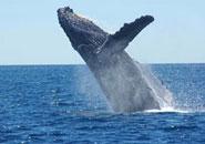 ¿Cómo y por dónde respiran las ballenas?