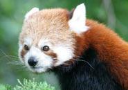 El Panda Rojo